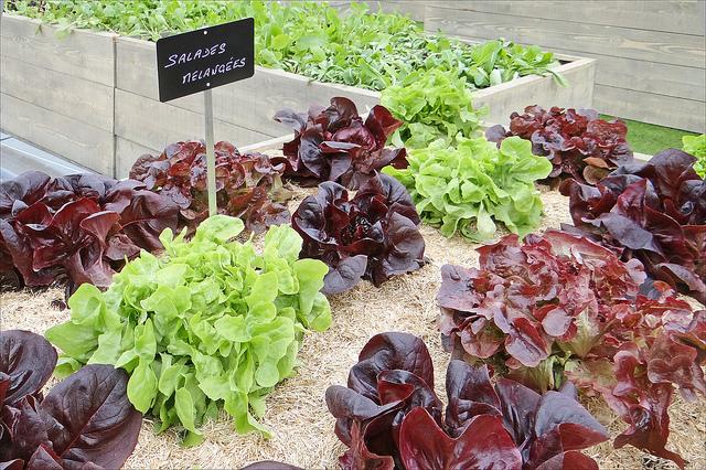 agriculture - Potager urbain de salades mélangers