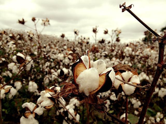 couture - champs de cotton