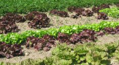 Paniers de la ferme purple and green lettuce field. Home delivery services